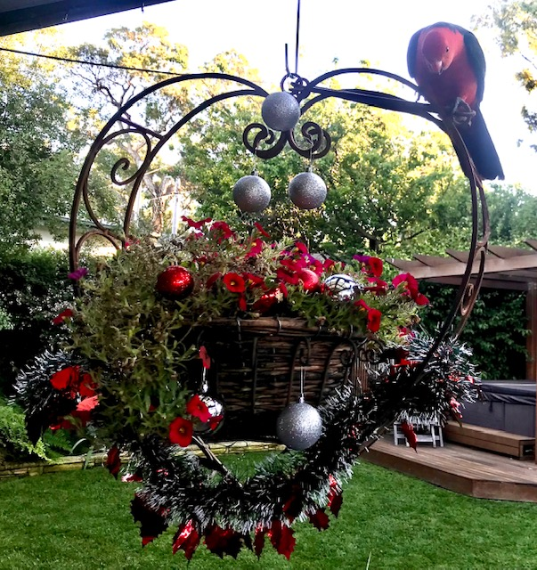 One of our beautiful regular visitors adding his own colour to a touch of Xmas in our backyard.